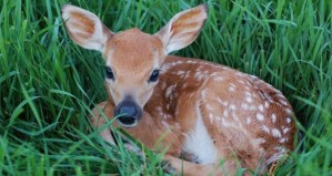 bigstock-Young-Spotted-Fawn-2244002-620x330